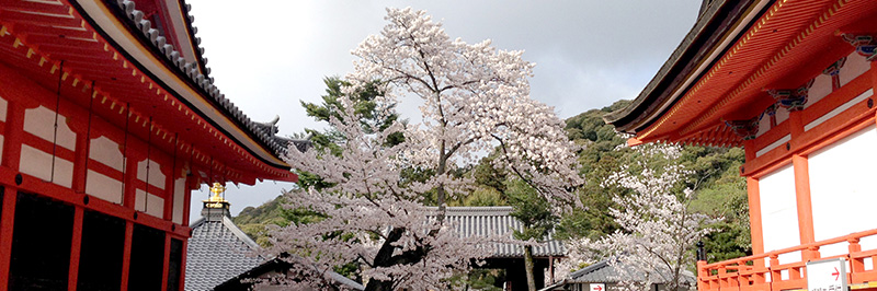 Cherry Blossoms between shines in Kyoto
